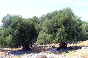 Olivový háj a Lun